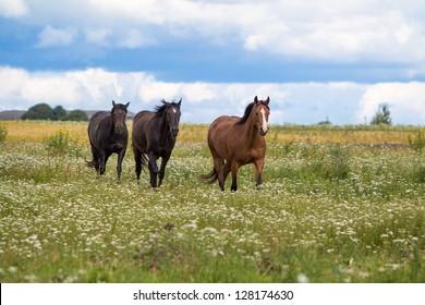 three horses walk in field