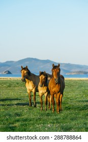 Three horses. Wild horses in the nature reserve of Lake Baikal. Horses owned by a local farm . Farm closed. Horses walk by themselves .