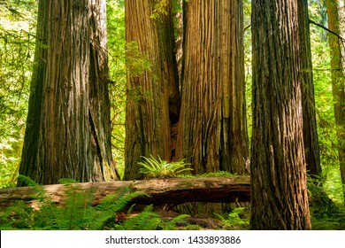 Three huge redwood trees in a redwood forest in the Redwood and California national park in northern California