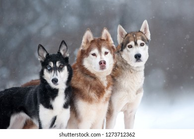 three husky dogs portrait on forest background