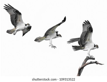 Three images of an Osprey flying to its perch
