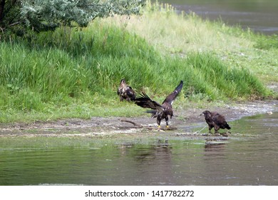 Three immature Golden Eagles beside the Missouri River in Montana