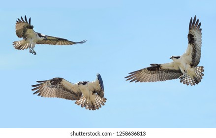 Three Individual Images of Osprey in Flight with Outstretched Wings on a Blue Sky Background