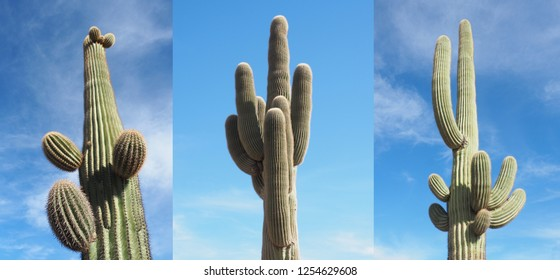 Three Individual Images of Saguaro Cactus Photographed on a Bright Sunny Day
