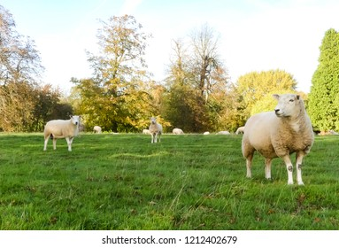 Three inquisitive ewes, attention diverted from the cameraman, flock in background. Tree lined skyline, Verdant pasture. Oxfordshire.