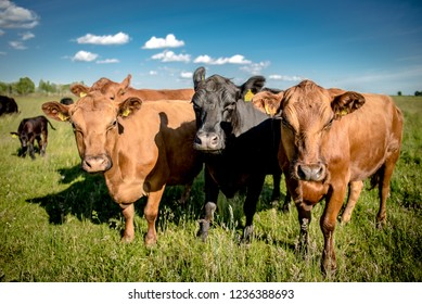 Three interested angus cows looking