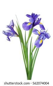 Three iris flowers isolated on white background, beautiful spring plant.