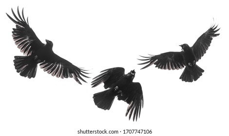 Three isolated carrion crows in flight with fully open wings
