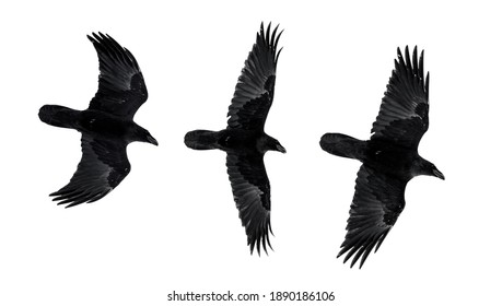 Three isolated raven in flight with fully open wings