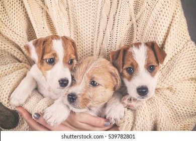 Three Jack Russell Terrier Puppies Closeup. Super Cute Baby Dogs In Cozy Human Hands