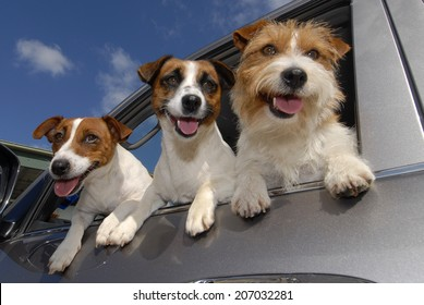 Three Jack Russell Terriers at Car Window