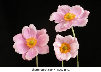Anemone flower images stock photos vectors shutterstock three japanese anemone flowers isolated against black mightylinksfo