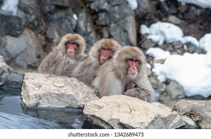 Three Japanese macaques huddle near a hot spring