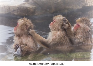 Three Japanese monkeys which have a washing kid in a hot spring