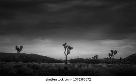 Three Joshua Trees in the desert under dramatic, stormy clouds with brush and hills in the background in Joshua Tree National Park, California