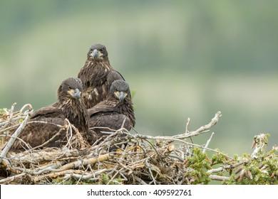 Three juvenile bald eagles (lat. Haliaeetus leucocephalus) sitting in the nest waiting to be fed