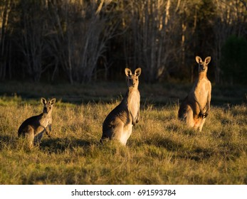 Three Kangaroos in grassland at sunset
