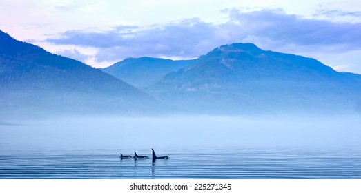 Three Killer whales in mountain landscape at Vancouver Island, Resident Coastal Fish-eaters, Orca, Orcinus orca, Johnstone Strait, Broughton Archipelago, Vancouver Island, British Columbia, Canada
