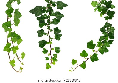 Three kinds of green ivy.