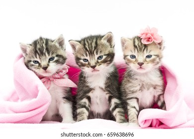 three kittens with a pink blanket on white background