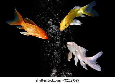 three koi carp fishes turn heads together in black background