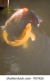 Three Koi fish swim together in a japanese garden pond