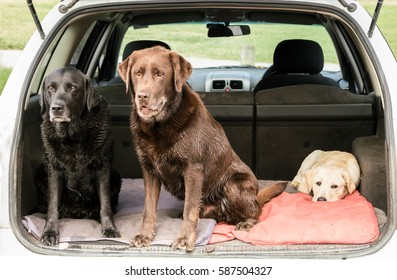 Three Labrador Retrievers sit in the back of a station wagon car, exhausted after a long walk. Two dogs are sitting up, a puppy is lying down.