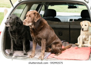 Three Labrador Retrievers sit up and look alertly out of the back of a wagon car.