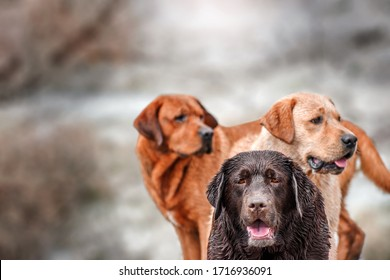three labradors fox red chocolate and yellow in the field