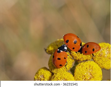 Three ladybirds on a tansy flower that look like they are in a scrum together.