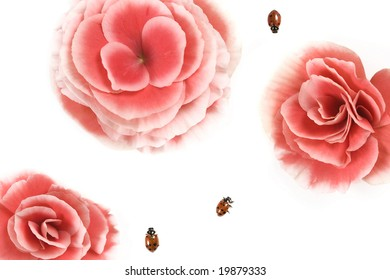 Three ladybugs (Hippodamia convergens) and Pink Begonia flower.
