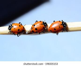 Three ladybugs on a stick