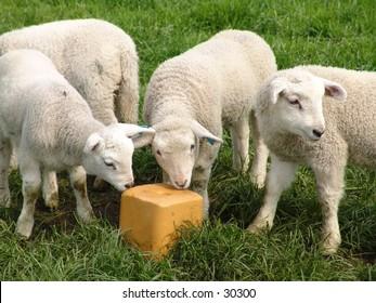 Three lambs and a block of salt