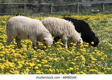 Three Lambs on a meadow in springtime