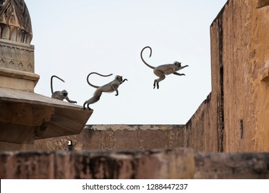 Three Langur monkeys in jumping action