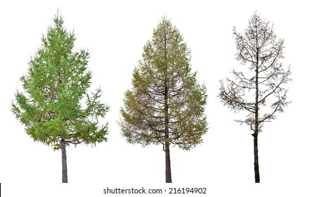 three larch stage isolated on white background