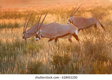 Three large antelopes with spectacular horns, Gemsbok, Oryx gazella, walking on the savanna against colorful sunset. Wildlife photography, Kgalagadi park, Kalahari desert, South Africa.
