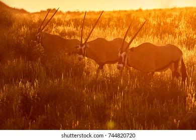 Three large antelopes with spectacular horns, Gemsbok, Oryx gazella, walking through arid savanna in Kgalagadi park against dramatic sunset,