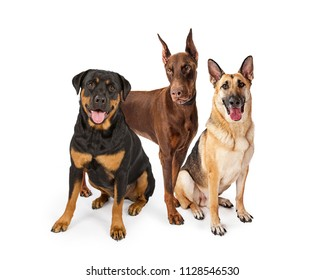 Three large breed guard dogs on white including Rottweiler, German Shepherd and Doberman Pinscher
