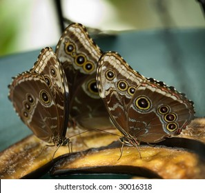 three large butterflies feeding