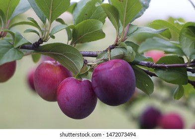 three large ripe plums on a branch with leaves close-up