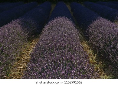 Three lavander rows