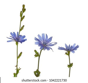 Three lavender common chicory flowers on different stems. The purple flowers are in bloom, at different angles and on a white background.