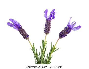 three lavender flowers isolated on  white background