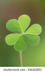 Three leaf clover against green