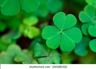 Three leaf clover on the field