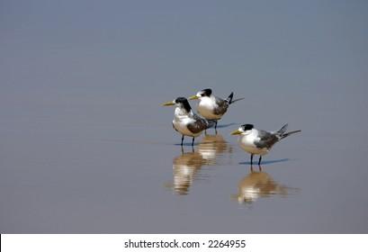 Three lesser-crested terns (Sterna bengalensis) on the beach (Fraser Island, Australia)