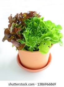 Three lettuce varieties, red leaf, green leaf and frisee growing in plastic pot on white background.