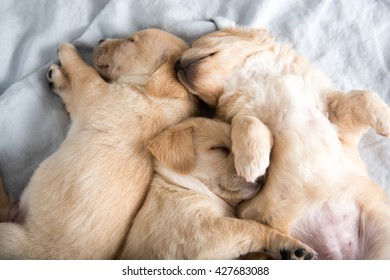 Three Light Colored Puppies Falling Asleep on Bed