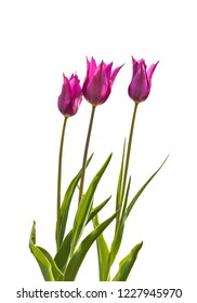 Three Lilyflowering magente tulips variety Burgundy  blooming in a row on a bed on a white background isolated
